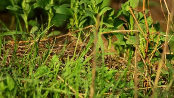 Sand lizard. Lacerta agilis in the sun. 12