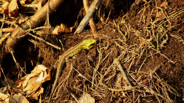 Sand lizard. Lacerta agilis in the sun. Sand lizard on the hunt. 20