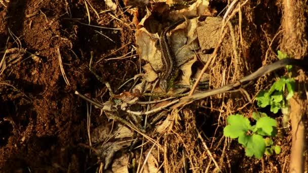 Ještěrka obecná. Lacerta agilis na slunci. Ještěrka na lovu. 21