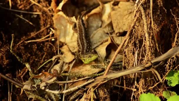 Ještěrka obecná. Lacerta agilis na slunci. Ještěrka na lovu. 22