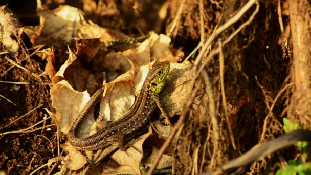 Ještěrka obecná. Lacerta agilis na slunci. Ještěrka na lovu. 23