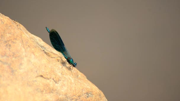 Calopteryx virgo. Dragonfly beautiful girl. 3