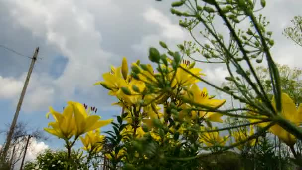 Lily sky flowers. Time Lapse. 15