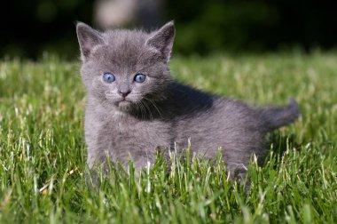 Cute grey fluffy kitten outdoors in the green grass