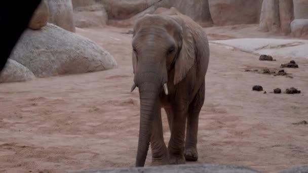 Valencia, Spanyolország, esetleg 2018: csorda elefánt az állatkertben