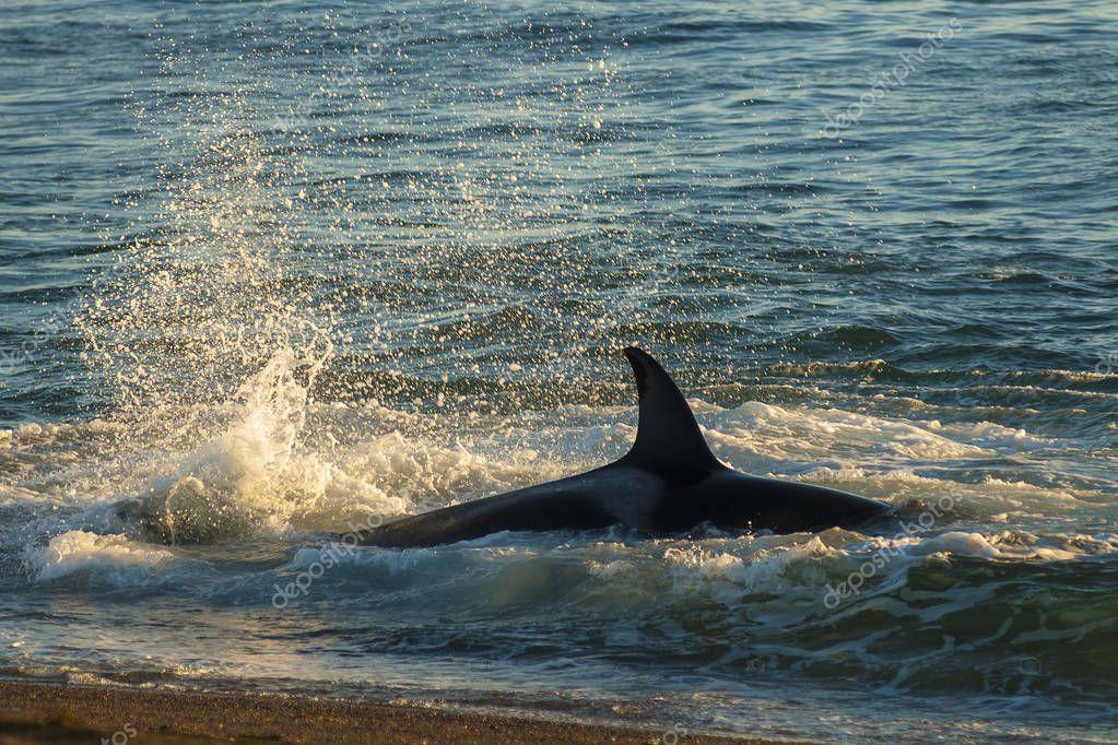 Killer whale, patagonia . Argentina
