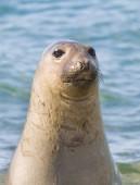 Fotografie Elephant seal, Patagonia Argentina