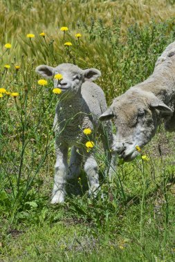Sheep breeding in green grass at countryside