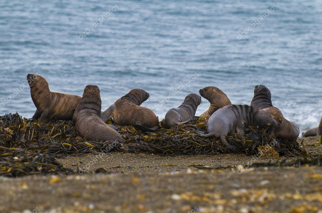 Southern Sea Lions, Otaria Flavescens