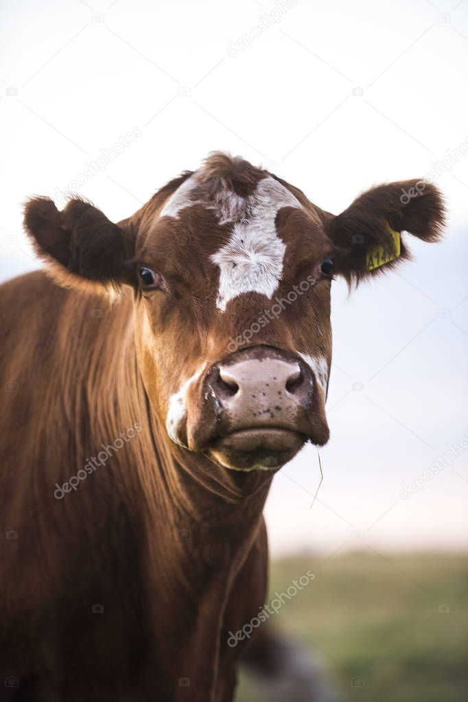 Dairy cow at countryside