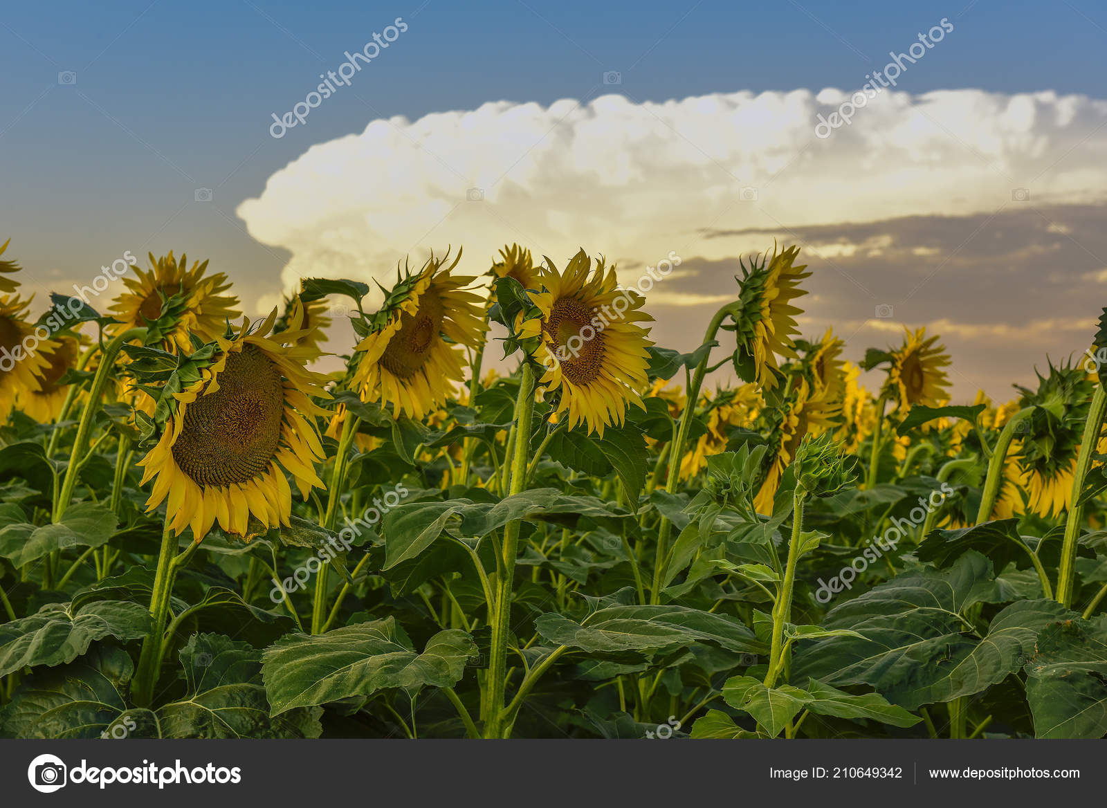 Pampas Paesaggio Con Girasoli Pampa Argentina — Foto Stock ...