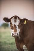 Fotografia Mucca da latte alla campagna