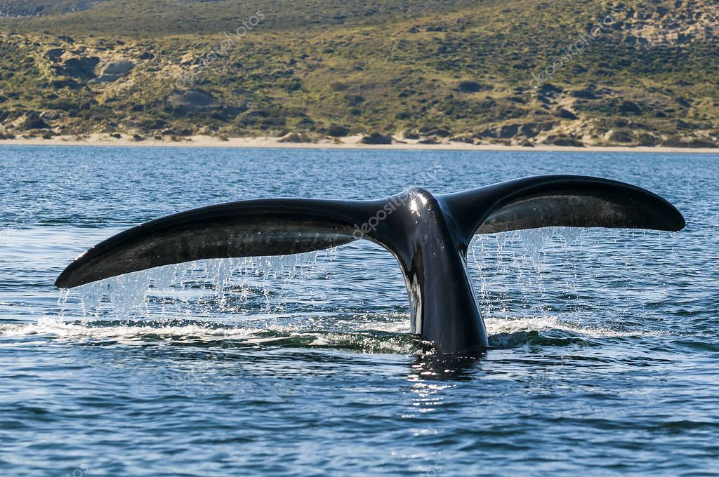 Right whale, Patagonia , Argentina