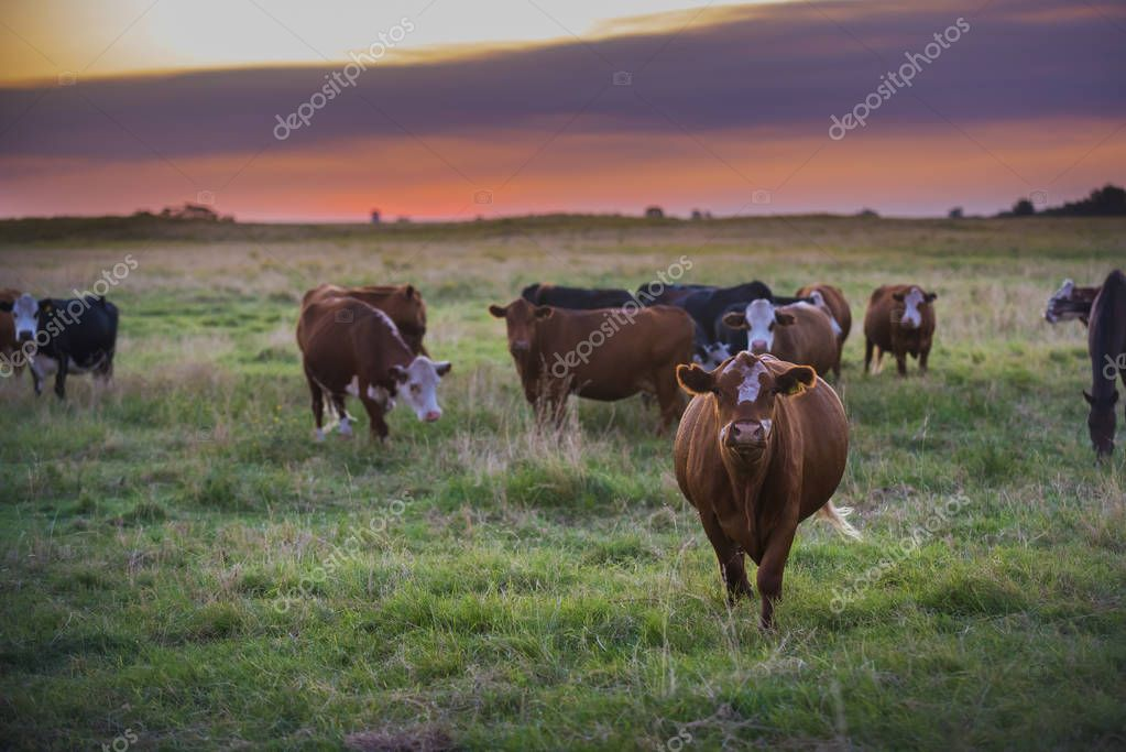 Cows feed at grass field, La Pampa, Argentina