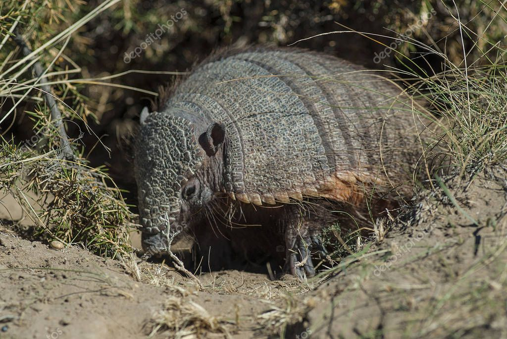 armadillo animal in nature, Patagonia , Argentina