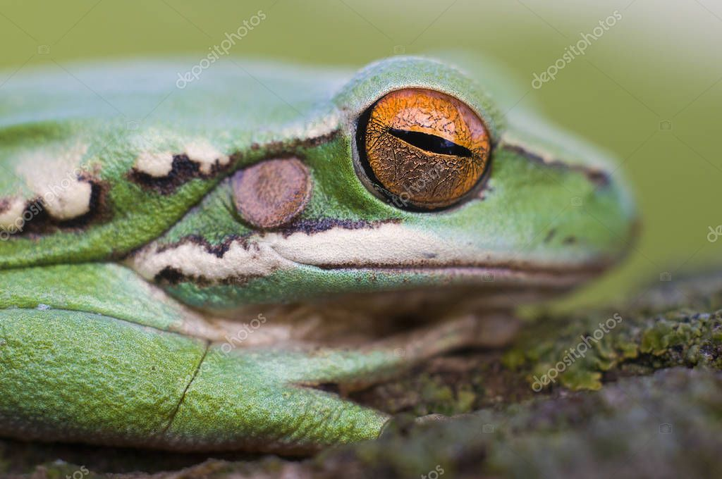 Close up view of green frog, La Pampa, Argentina