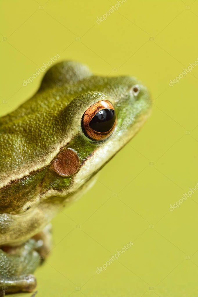 Close up view of green frog, La Pampa, Argentina