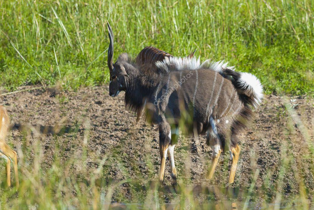 Nyala animal of South Africa