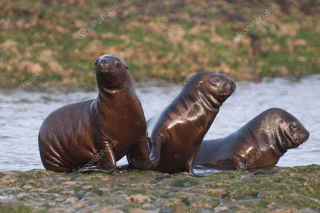 Sea Lions, Patagonia Argentina