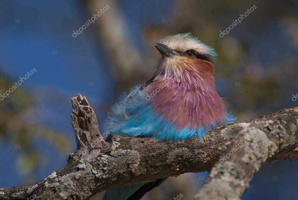 Lilac-breasted roller, south Africa