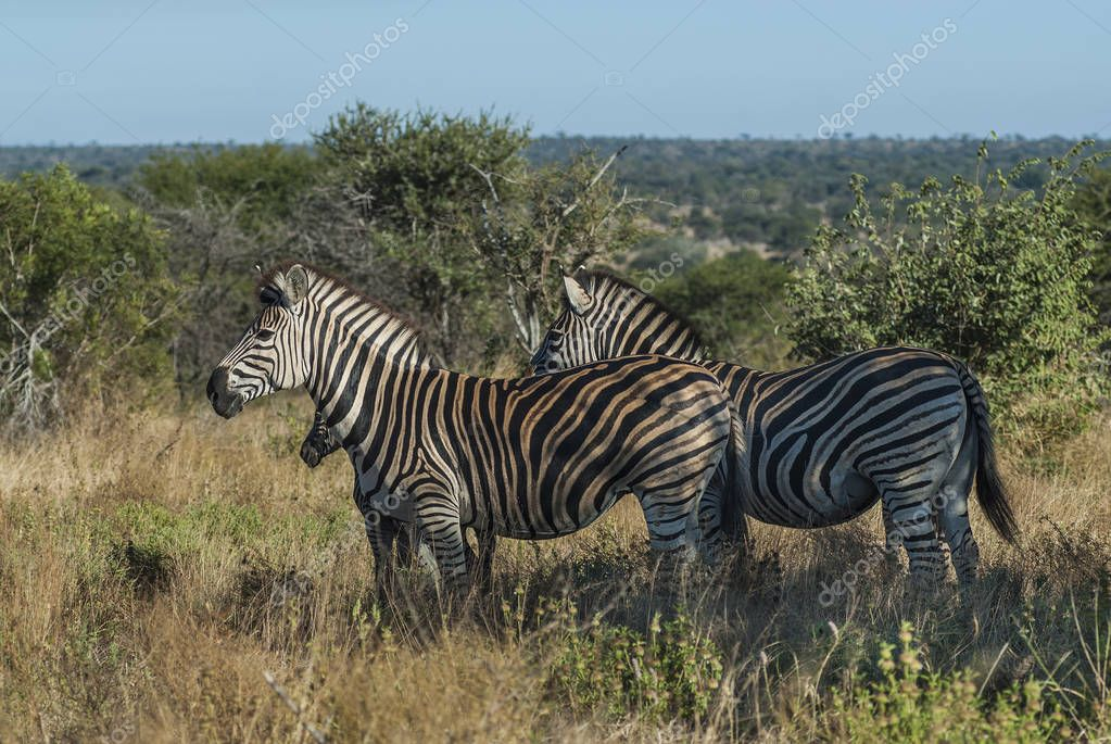 Common Zebras in wild nature of South, Africa