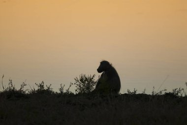 Baboon monkey, South Africa