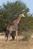Fényképek Zsiráf a vad természet, Dél-afrikai Köztársaság