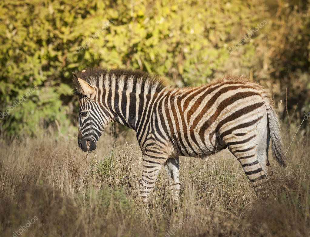 Common Zebra in wild nature of South, Africa