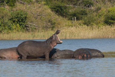 Hippos in wild nature, South Africa