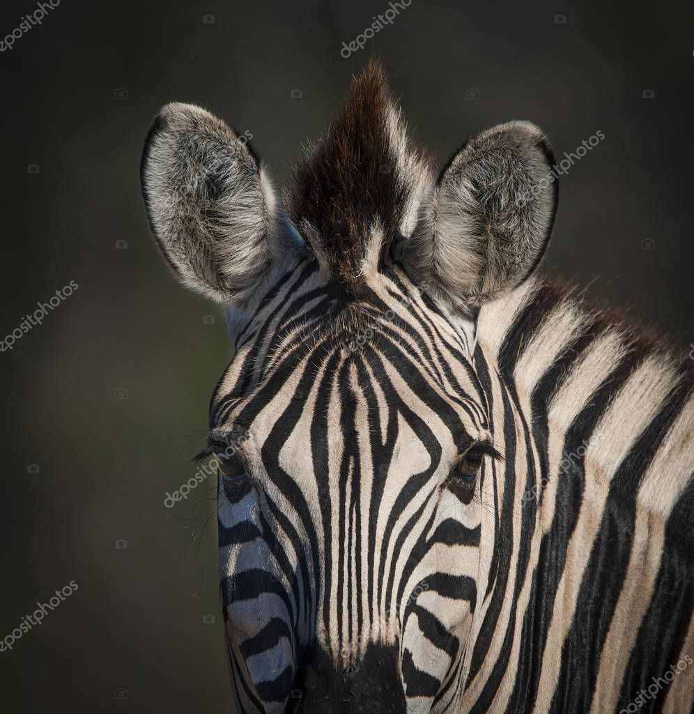 Common Zebra in wild nature of South Africa