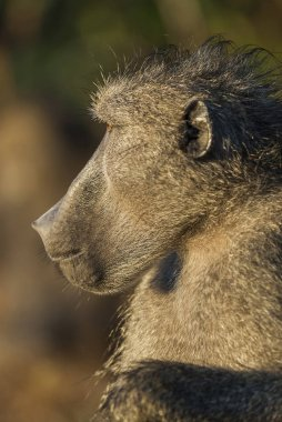 Baboon monkey in wild nature, Africa