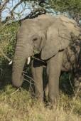 slon africký, Jihoafrická republika