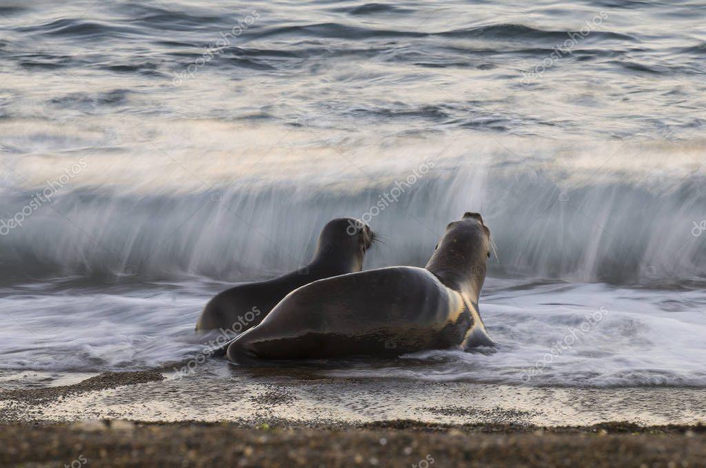 Sea lion colony, patagonia Argentina