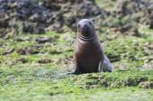 Mořský lev, Patagonie Argentina