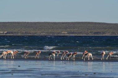 Flamingos in seascape,Patagonia, Argentina