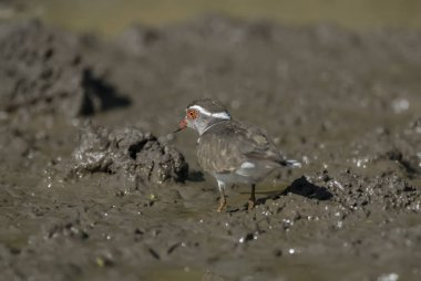 Three banded plover.Charadrius tricollaris, Kruger National Park