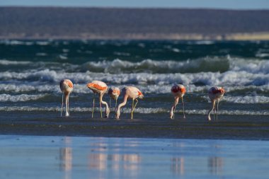 Flamingos feeding on a beach,Peninsula Valdes, Patagonia, Argent