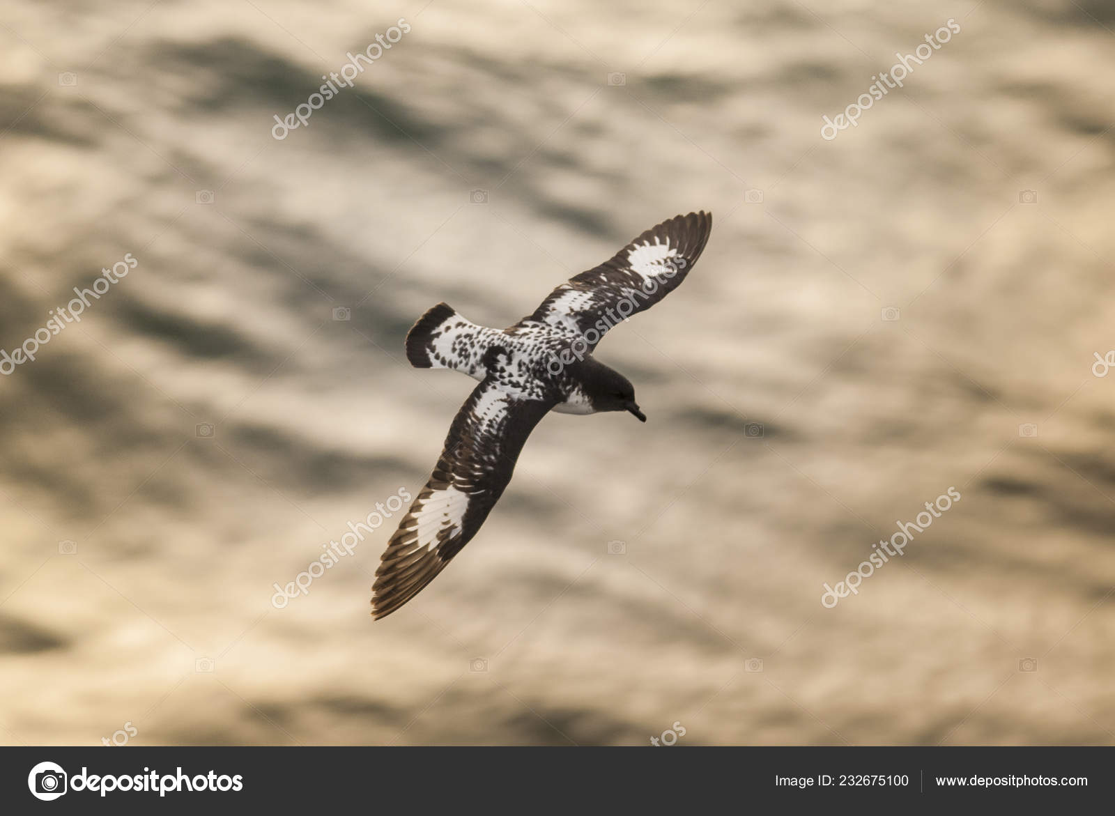 Cape Petrel Bird Antarctica — Stock Photo © FOTO4440 #232675100