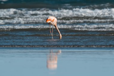 Flamingo feeding at beach, Peninsula Valdes, Patagonia, Argent