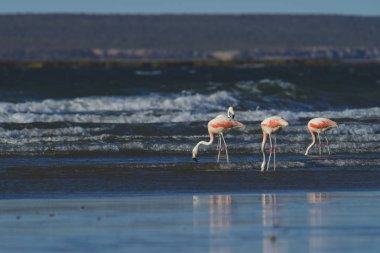 Flamingos feeding at beach, Peninsula Valdes, Patagonia, Argent