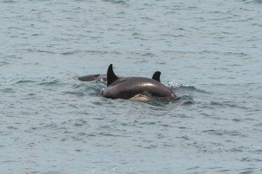 Orcas hunting, Patagonia , Argentina