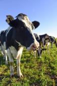 Mléčné krávy na venkově Pampas, Patagonia, Argentina