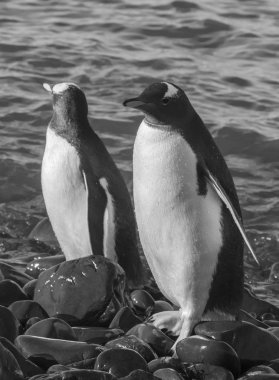 Gentoo Penguins, Pygoscelis papua, Neko Harbour, Antarctica stock vector
