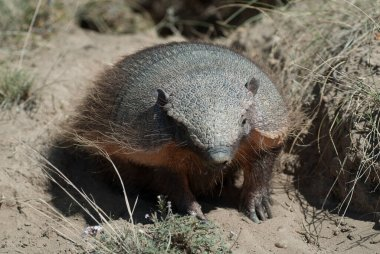 Hairy Armadillo, in desert environment, Peninsula Valdes, Patago stock vector