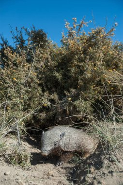 Hairy (Chaetophractus villosus) , Patagonia Argentina stock vector