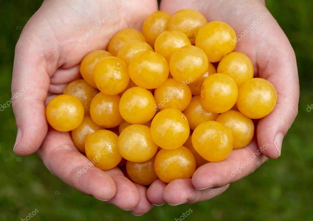 a handful of yellow cherries