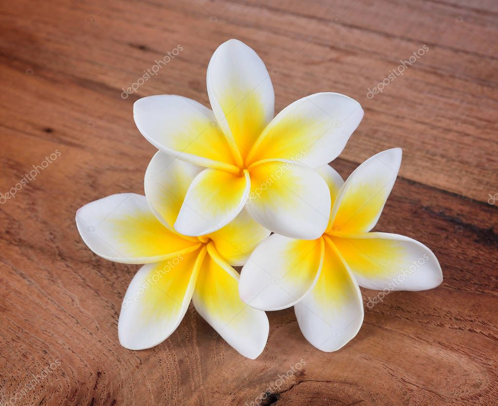 frangipani flower on a wooden background