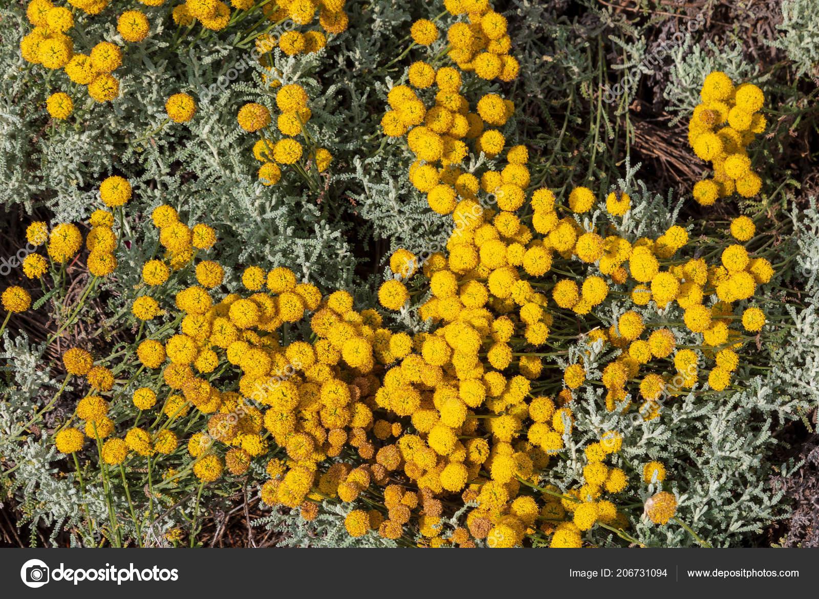 Santolina Chamaecyparissus Tradicional Planta Medicinal Silvestre