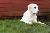 A young purebred white Golden Retriever laying on the grass