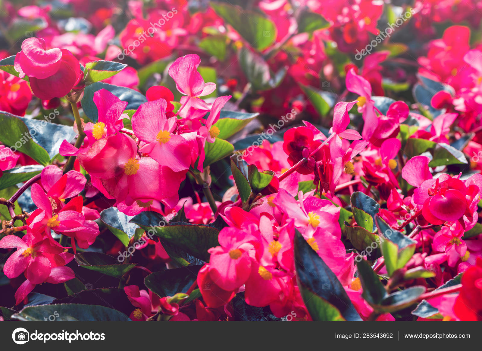 background nature flower garden flowers red flowers stock photo c last19 283543692 https depositphotos com 283543692 stock photo background nature flower garden flowers html